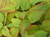 Persicaria amplexicaulis \'J.S. Caliente\'