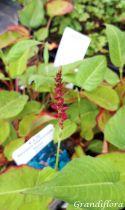 Persicaria amplexicaulis \'Taurus\'