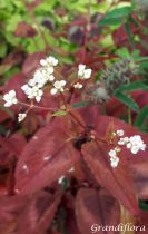 Persicaria microcephala \'Red Dragon\'