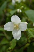 Philadelphus coronarius, arbuste au feuillage caduc vert et aux fleurs simples blanches très parfumées au printemps.