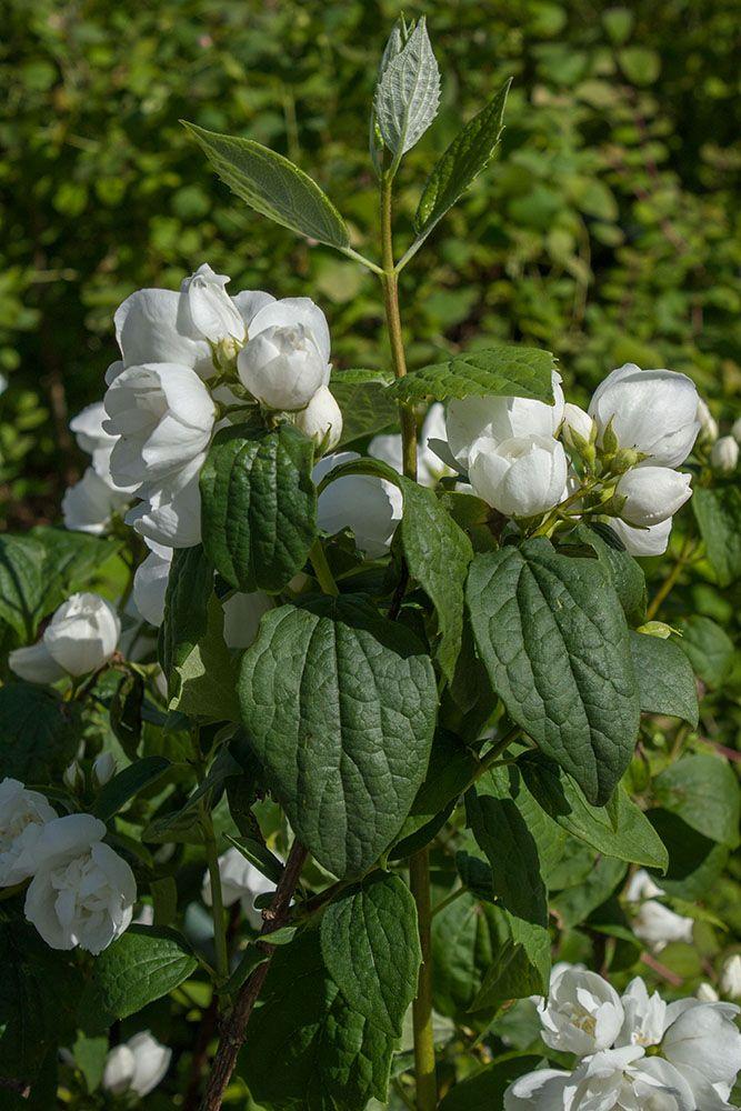 Philadelphus virginalis ou seringat à fleurs doubles, floraison blanche parfumé en juin juillet pour des massifs de jardin au soleil.