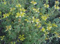 Phlomis fruticosa \'Lanata\'