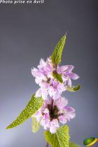 Phlomis tuberosa \'Amazone\'