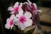 Phlox paniculata \'Bright Eyes\'