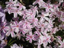 Phlox subulata \'Candy Stripes\'