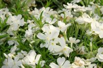 Phlox subulata \'White Delight\'