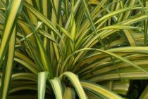 Phormium \'Yellow Wave\'