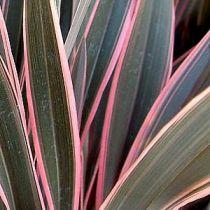 Phormium tenax \'Pink Stripe\'