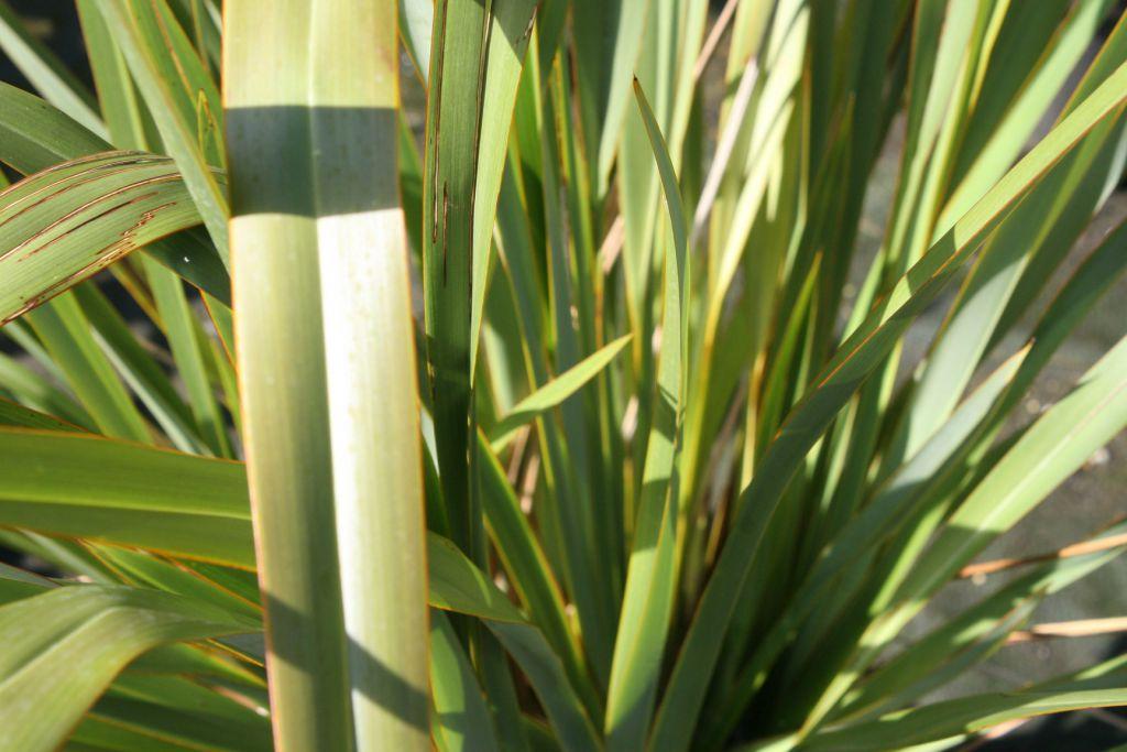 Phormium tenax Vert