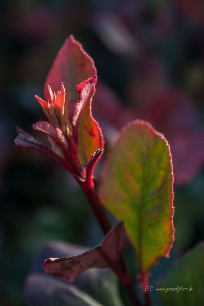 Photinia* x fraseri \'Little Red Robin\'