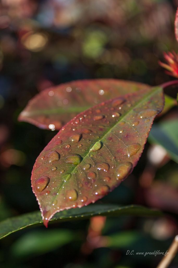 Photinia* x fraseri \'Red Robin\'
