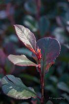 Photinia x fraseri \' Little Red Robin\', arbuste persistant au feuillage vert brillant et aux pousses rouges de printemps.