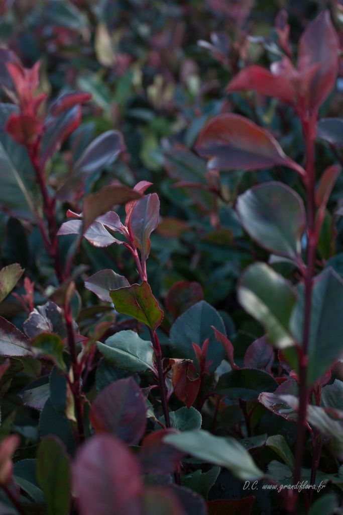 Photinia x fraseri \' Little Red Robin\'