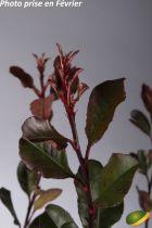 Photinia x fraseri \'Little Red Robin\'