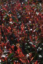 Photinia x fraseri \' Red Robin\', arbuste persistant au feuillage vert et aux pousses rouges au printemps, floraison blanche au printemps.