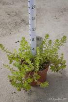 Phuopsis stylosa (Crucianella stylosa)