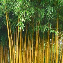 Bambou phyllostachys aureosulcata Aureocaulis