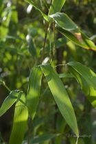 Phyllostachys nigra \'Boryana\'