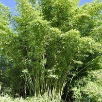 Bambou phyllostachys rubromarginata