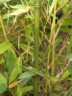 phyllostachys rubromarginata
