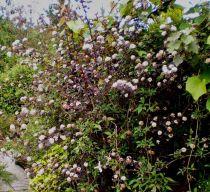Physocarpus opulifolius \' Diabolo \'