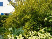 physocarpus darth gold A