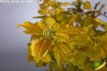 Physocarpus opulifolius \'Dart\'s Gold\'