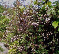 Physocarpus opulifolius \'Diabolo\'