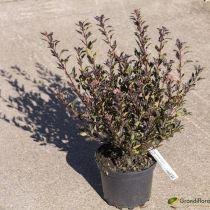 Physocarpus opulifolius \'Little Devil\'