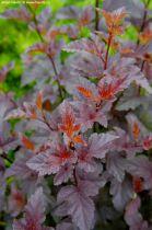 Physocarpus opulifolius \'Red Baron\'