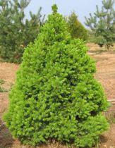 Picea* glauca \'Conica\'