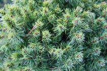 Picea glauca \'Alberta Globe\'