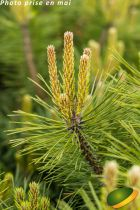 Picea pungens \'Glauca Globosa\'