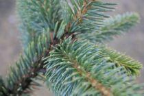 Picea pungens \'Hoopsii\'