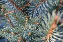 Picea pungens \'Iseli Fastigiate\'