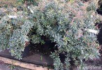 Pieris* japonica \'little heath\'