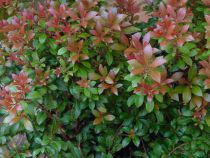 Pieris* japonica \'Little heath green\'