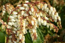 Pieris* japonica \'Mountain Fire\'