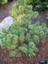 Pinus * \'Brevifolia\'