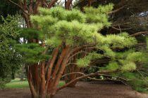 Pinus * densiflora \'Umbraculifera\'