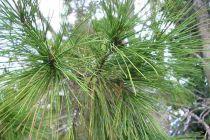 Pinus * halepensis