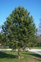 Pinus * nigra \'Austriaca\'