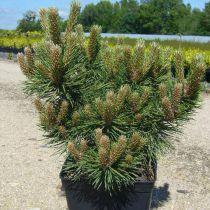 Pinus * nigra \'Austriaca nana\'