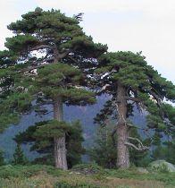 Pinus * nigra \'Laricio\'