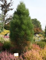 Pinus * nigra \'Pyramidalis\'