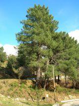 Pinus * pinaster