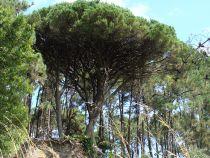 Pinus * pinea