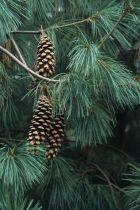 Pinus * wallichiana