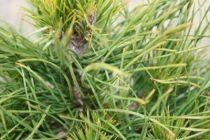 Pinus* mugo \'Varella\'