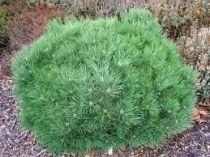 Pinus* nigra \'Brepo\'